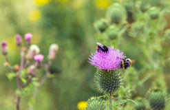 El cardo de lanza floreciente visitó abejorros del bij dos Fotografía de archivo libre de regalías