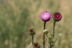 El cardo florece los detalles Imagen de archivo libre de regalías