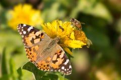 El cardui de Vanesa de la mariposa, la abeja y la mosca beben el néctar de flores amarillas Imagenes de archivo