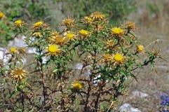 El Carlina vulgaris, el cardo carlino del wildflower, del Asteraceae de la familia Fotografía de archivo libre de regalías