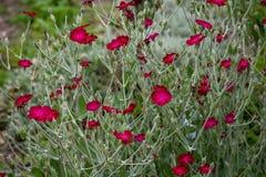 El carmesí florece Afeild Fotografía de archivo libre de regalías