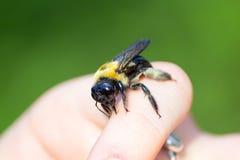 El carpintero manosea la abeja que se sienta en una mano Imagen de archivo