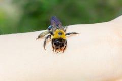 El carpintero manosea la abeja que se sienta en una mano Imágenes de archivo libres de regalías