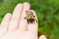 El carpintero manosea la abeja que se sienta en una mano Fotografía de archivo libre de regalías
