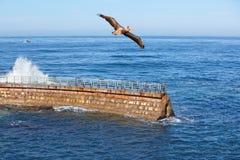 El causar un crash de las ondas del ~ del pelícano de California Brown en vuelo Imagen de archivo libre de regalías