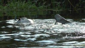 El cazador subacuático nada a lo largo de un pequeño río y se zambulle metrajes