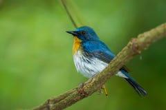 El cazamoscas azul de Tickell Imagenes de archivo
