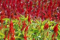 El Celosia, celosia Plumed, lana florece, zorro rojo Imagen de archivo libre de regalías