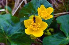 El centrarse tirado en una abeja que se sienta en el centro de una flor amarilla Imagenes de archivo