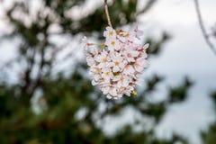El centro de la ejecución del ramo de la flor de cerezo abajo empaña el fondo Fotos de archivo