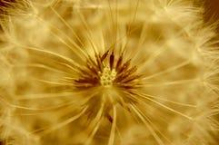 El centro o el núcleo macro de un diente de león que mire al extranjero y alista para soplar las semillas en el viento imagen de archivo