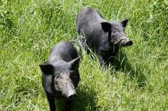 El cerdo Fotos de archivo
