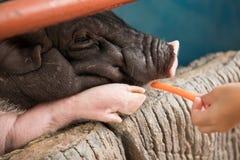 El cerdo come la zanahoria Fotos de archivo