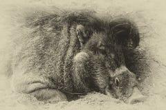 El cerdo del agujero Imagenes de archivo