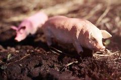 El cerdo del juguete en fauna fotografió el juguete al aire libre imagen de archivo libre de regalías