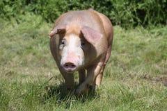 El cerdo grande del Duroc-Jersey corre a través del prado imagenes de archivo