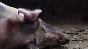 El cerdo grande en una pocilga, cerdo manchado miente entre la inmundicia en la pocilga, cerdo el dormir, visión desde la cabeza almacen de metraje de vídeo