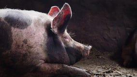 El cerdo grande en una pocilga, cerdo manchado miente entre la inmundicia en la pocilga, cerdo el dormir, vista lateral almacen de metraje de vídeo