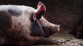El cerdo grande en una pocilga, cerdo manchado miente entre la inmundicia en la pocilga, cerdo el dormir, vista lateral metrajes