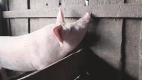 El cerdo huele la pared de madera con su hocico almacen de video