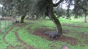 el cerdo ibérico del negro 4K está enfermo a través de los robles en el Dehesa de España almacen de metraje de vídeo