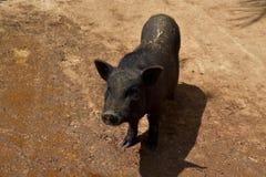 El cerdo ibérico le gusta el fango foto de archivo