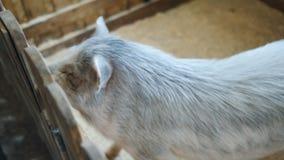 El cerdo manchado en el zoo-granja que pide la comida de visitantes almacen de video