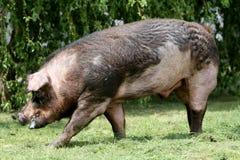 El cerdo masculino del Duroc-Jersey pasta en el bio hogar orgánico de la granja imagenes de archivo