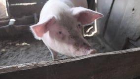 El cerdo mira en la cámara y conduce de lado a lado con un hocico sucio metrajes
