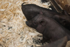 El cerdo oscuro Imágenes de archivo libres de regalías