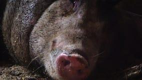 El cerdo respira su hocico, el bozal del ` s del cerdo Nariz del cerdo almacen de video