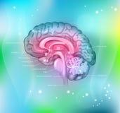 El cerebro Foto de archivo libre de regalías