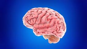 El cerebro humano stock de ilustración