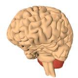 El cerebro humano 3D rinde Fotografía de archivo libre de regalías