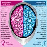 El cerebro humano a la izquierda e a la derecha funciona Fotografía de archivo libre de regalías