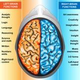 El cerebro humano a la izquierda e a la derecha funciona Imagen de archivo libre de regalías