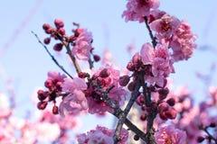 El cerezo del flor de la primavera ramifica, las flores del rosa japonés en b Fotografía de archivo libre de regalías