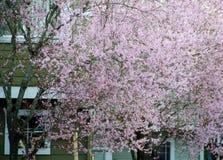 El cerezo floreciente oculta ventanas de una casa en los suburbios de Seattle Foto de archivo libre de regalías