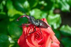 El cervus de Lucanus del escarabajo Imágenes de archivo libres de regalías