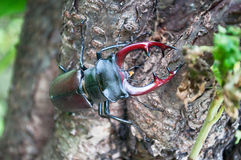 El cervus de Lucanus del escarabajo Imagen de archivo