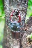 El cervus de Lucanus del escarabajo Foto de archivo libre de regalías