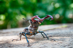 El cervus de Lucanus del escarabajo Imagenes de archivo