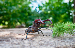 El cervus de Lucanus del escarabajo Imagen de archivo libre de regalías