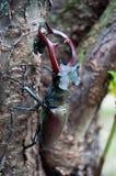 El cervus de Lucanus del escarabajo Foto de archivo