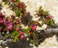 El Chaenomeles florece en el canto de las montañas de la reserva de la biosfera de Shouf, Líbano de la cumbre fotografía de archivo