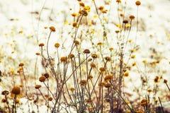 El chamomilla del Matricaria, detalla escena natural foto de archivo libre de regalías