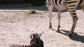 El chapmani del quagga del Equus de la cebra del ` s del buhonero es una subespecie de la cebra de los llanos Cebra del bebé metrajes