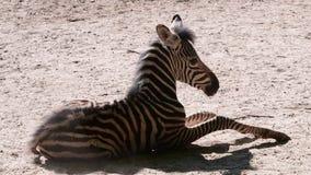 El chapmani del quagga del Equus de la cebra del ` s del buhonero es una subespecie de la cebra de los llanos Cebra del bebé almacen de video