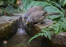 El charlatán indio común de la selva de los pájaros se empareja cerca de un waterhole Fotos de archivo libres de regalías