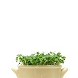 El chia verde brota en un pote en un fondo blanco Imagenes de archivo